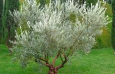 oliveira2